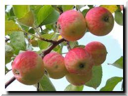 Яблоки наливные
