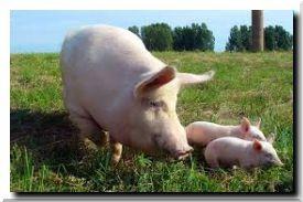 Год Свинки